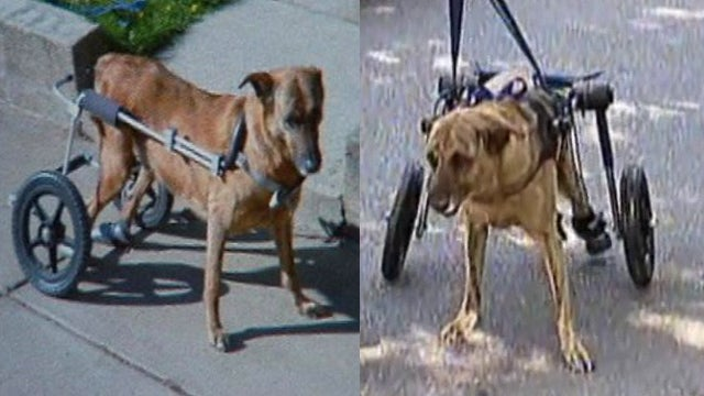 A Horrible Person Stole This Dog's Wheelchair