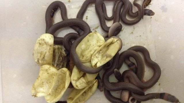 Eggs Stashed Away in Wardrobe by Toddler Hatch Into World's Second Most Venomous Snake