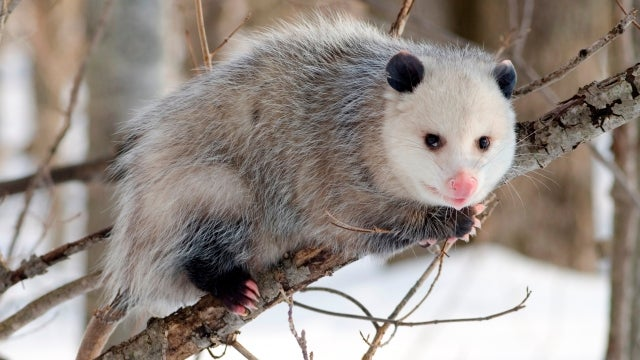 Snakes evolved venom as part of their eternal war with opossums