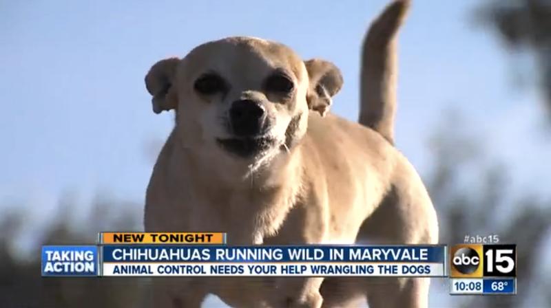Arizona Town Overrun By Packs of Wild Roving Chihuahuas