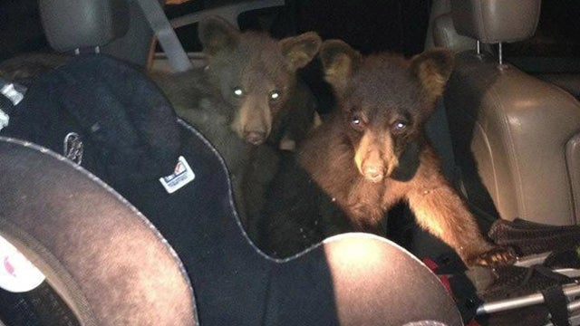 'Stop Encouraging Cute Bears To Break Into Cars' Warns Town