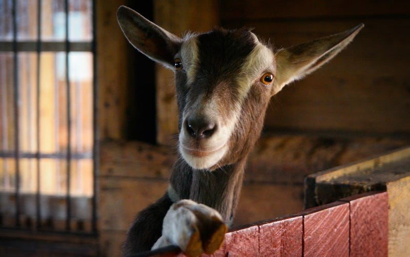 Correction: Humanity Not on Brink of Terrible War With Goats