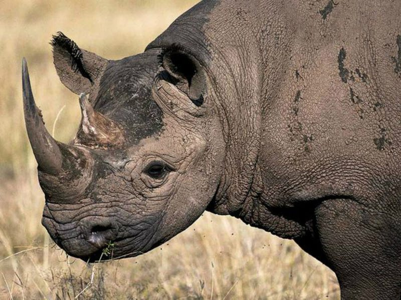 Texas Hunters Will Kill Endangered Rhino In Attempt To Save Them All