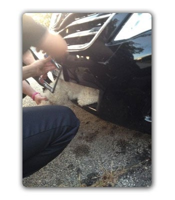 Tough And Terrified Dog Survives Eleven Miles Crammed In A Camry's Grille