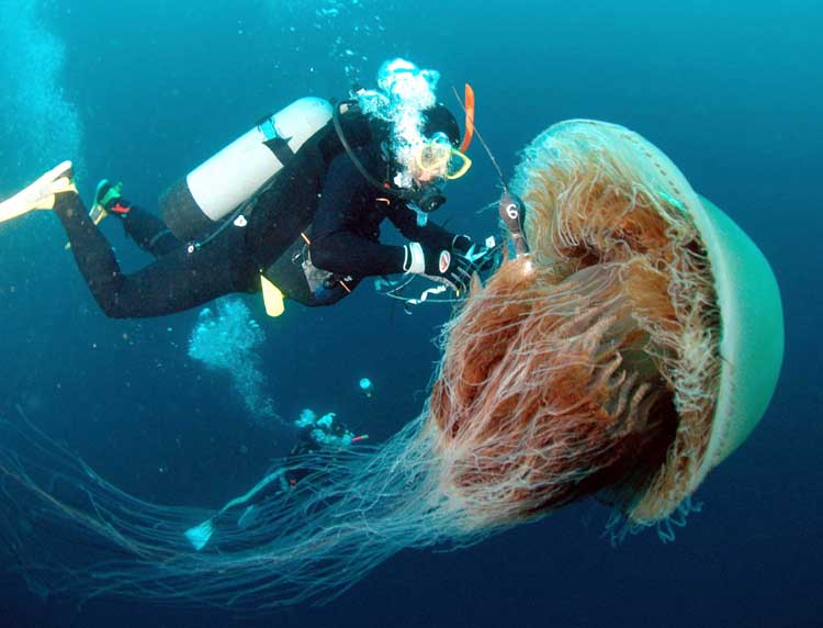 Giant Jellyfish Swarms Off The Coast Of Japan