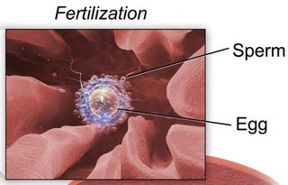 What Happens to Sperm Once They're Inside a Woman?