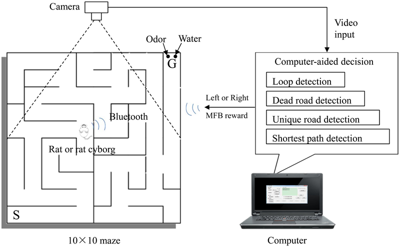 Cyborg Rats Solve Mazes Better and Faster Than Normal Rats