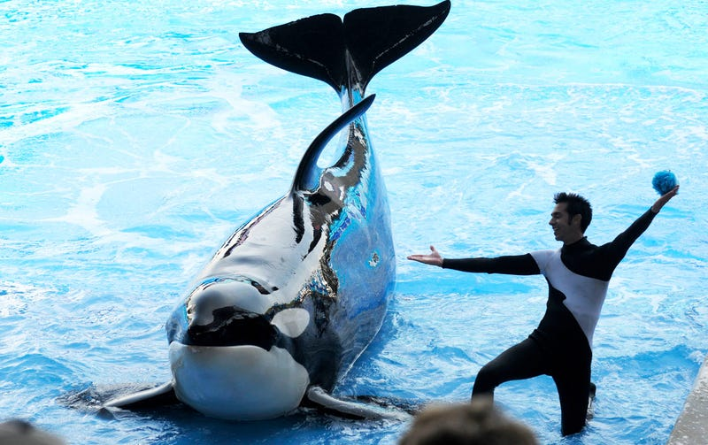 Trainer-Killing Whale Returns to Sea World Show