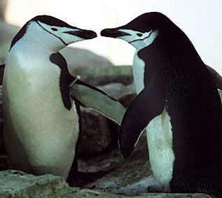 Gay Penguins Hatch And Raise A Penguin Baby