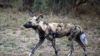 Painted Dogs Took Down A Pregnant Impala and Nat Geo Streamed It Live