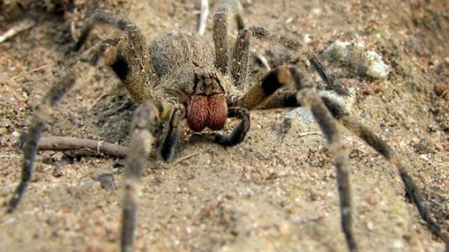 Deadly spider venom could be the cure for human impotence