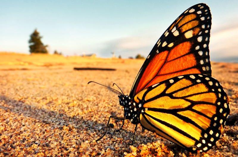 Por fin entendemos cómo se orientan las mariposas monarca en su larga migración hasta México