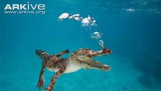 Sunday Crocodilian - Crocodylus porosus Edition