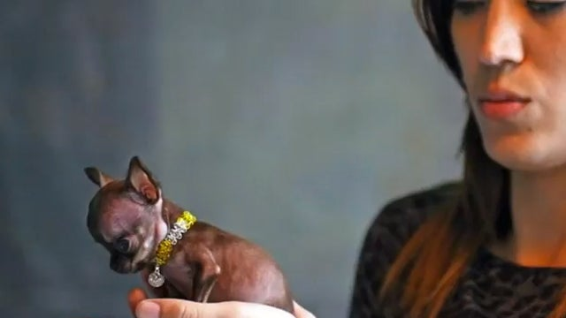 Milly May Be the World's Smallest Dog, Is Already One of the World's Cutest