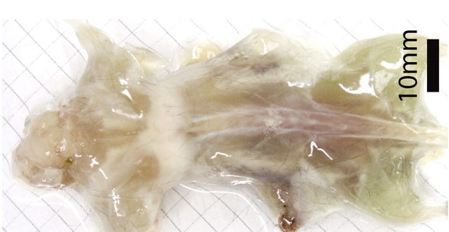 Scientists Turned This Entire Mouse Transparent Using Detergent