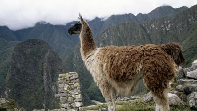 Llama poop was the secret to the success of the Inca civilization