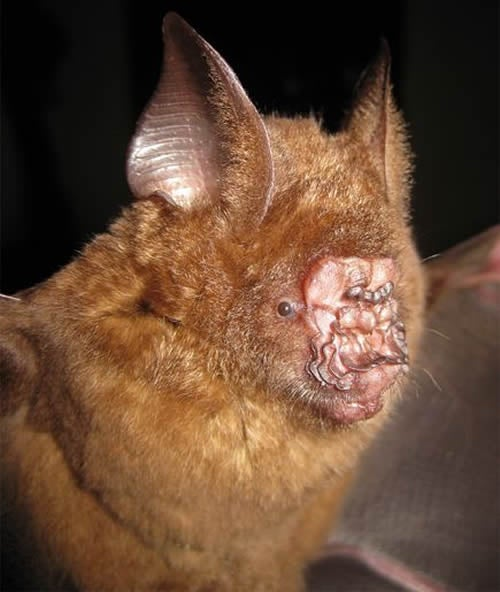 This Bat Has the Ugliest Face I've Ever Seen