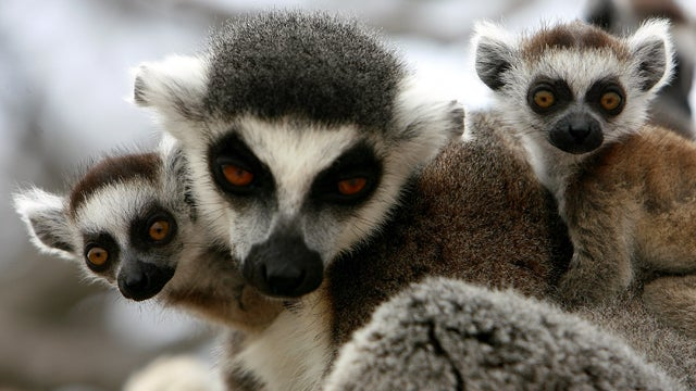We Want To Book A Vacation On Lemur Island
