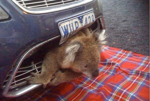 Koala Hit By Car Gets Stuck In Grille, Survives
