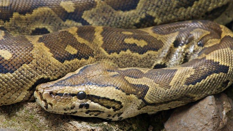 19-Foot Python Breaks Into Australian Thrift Store