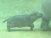 Run, Baby Hippo, Run!