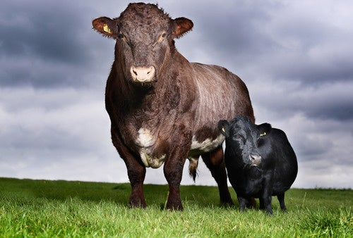 Revealed: The World's Smallest Cow