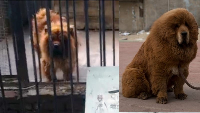A Zoo in China Tried to Pass Off This Dog as an African Lion
