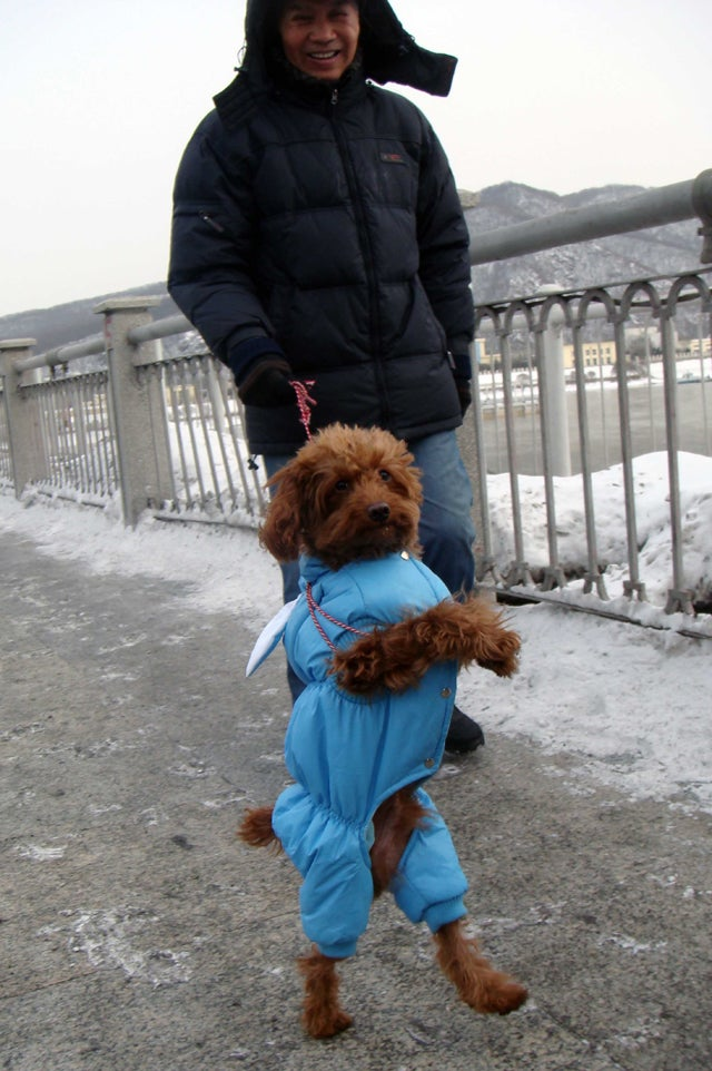 Treasure The Poodle Goes For A Stroll