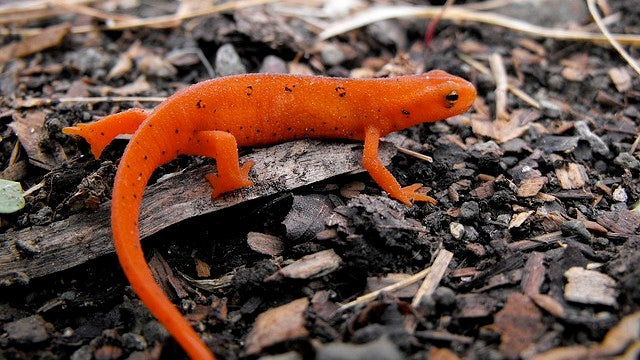 These newts have the world's sexiest kidneys