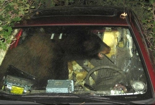 Bear Trapped In Car Following Pic-A-Nic Basket Heist