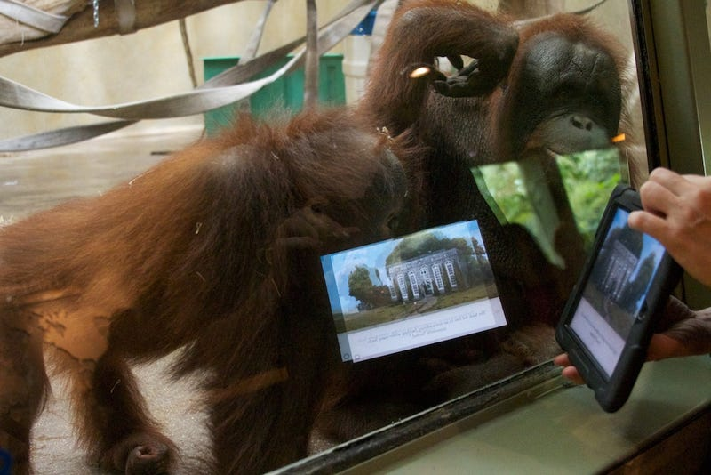 These Orangutans Play with iPads