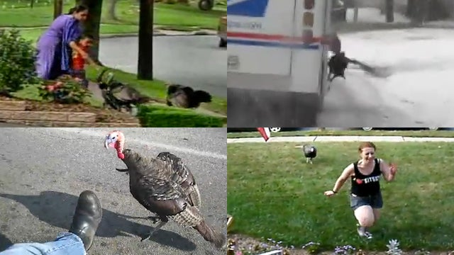 The 10 Best Videos of Turkeys on the Attack