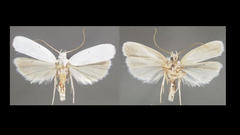 New Kind of Moth Hints at Other Species That May Be Hid…
