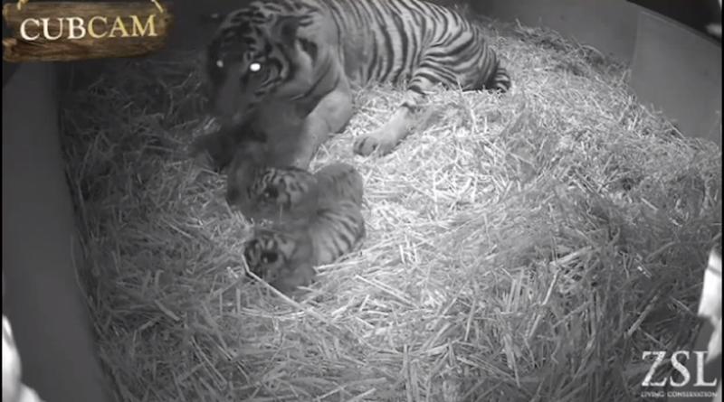 Three Extremely Rare Sumatran Tigers Born at London Zoo