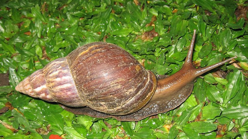 Giant Damage-Causing Snails Are Aggressively Invading Florida