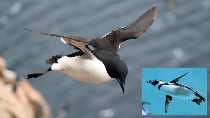 Why Did Penguins Stop Flying?