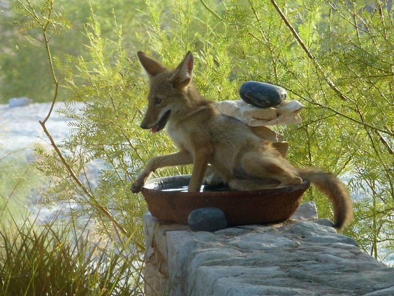 New and Improved Bird Bath, Now With Extra Coyote!