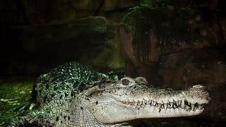 Smonday Crocodilian - Crocodylus novaguineae Edition