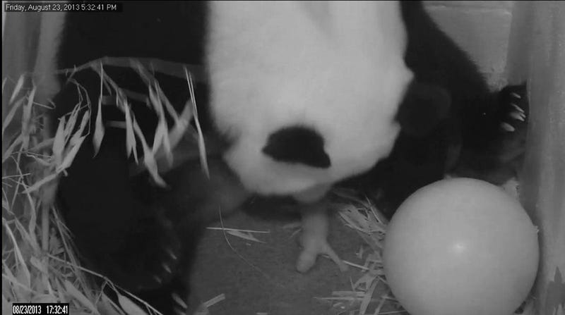 Here's the New Baby Panda at the National Zoo
