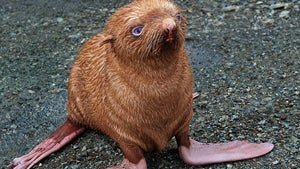 Little Red-Haired Seal Pup Abandoned & Shunned By Jerky Family