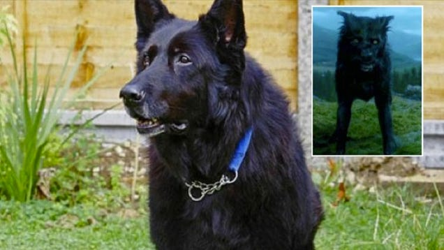 Harry Potter Sirius Black Dog Breed
