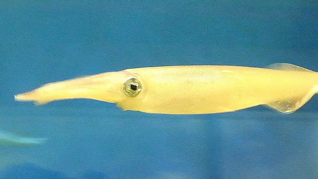 """""""Sneaky"""" squid packs bigger sperm, likes to shoot and leave"""