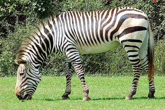 In This Case, The Zebra Is Not A Euphemism
