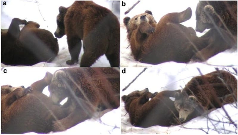 Why Are These Bears Having Oral Sex?