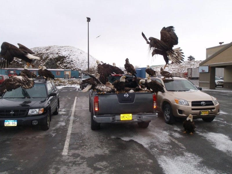 Our New National Emblem: Bald Eagles Looting Fish Guts from Truck Bed