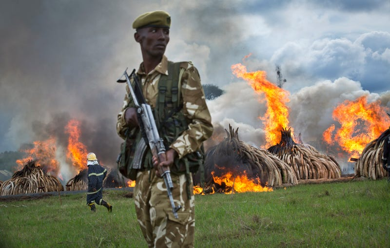 Today, Kenya Is Torching 5% Of The World's Stockpiled Ivory