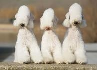 Behold The Bedlington Terrier