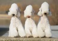 Behold The Bedlington Terrier