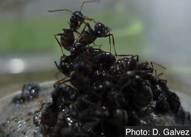 Ants make their rafts float by putting the buoyant babies at the bottom