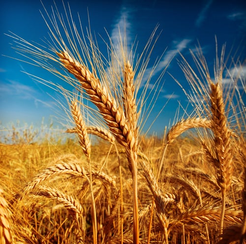 Why you should probably stop eating wheat
